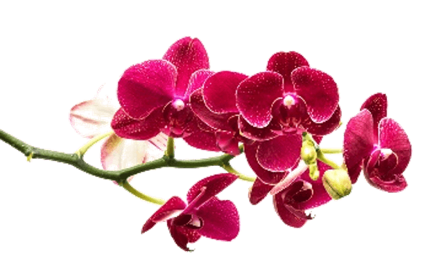 Orchid Romantic Flower